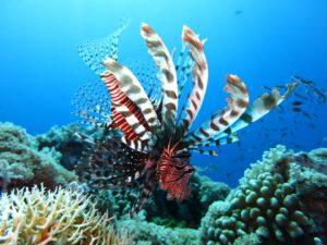 Lionfish at dauin